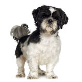 Shih Tzu (5 years) Stock Photography