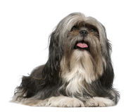 Shih Tzu, 5 years old, lying in front of white Royalty Free Stock Images
