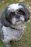 Shih Tzu Fotos de Stock