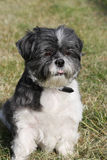 Shih Tzu. Cute little Shih Tzu sitting in a field royalty free stock image