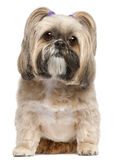 Shih Tzu, 6 years old, sitting Royalty Free Stock Photography