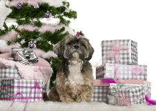 Shih Tzu, 7 years old, sitting with Christmas Stock Images