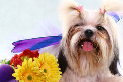 Shih-tzu. A posing shih-tzu royalty free stock photos