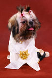 Shih-tzu. A dressed shih-tzu royalty free stock images