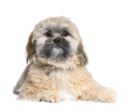 Shih Tzu (8 months) Stock Photo