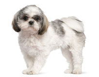 Shih Tzu, 8 months old, standing Royalty Free Stock Photography
