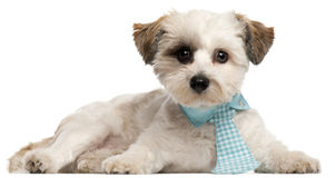 Shih Tzu, 8 months old, wearing a tie Royalty Free Stock Image
