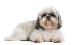 Shih Tzu, 8 years old Royalty Free Stock Image
