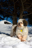 Shih Tzu. Cute little Shih tzu on snow covered hill Royalty Free Stock Image