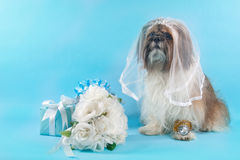 Shih Tzu as a Bride. Wearing a bridal veil. a ShihTzu has wedding presents, a diamond ring and a bridal bouquet Stock Photography