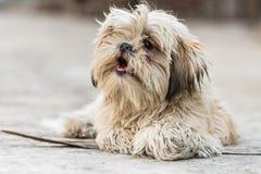 Shih Tzu avel av hunden Arkivbild