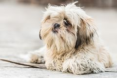 Shih Tzu avel av hundsammanträde Royaltyfria Bilder