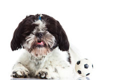 Shih tzu with ball isolated on white background dog football player Stock Photos