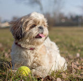 Shih Tzu with a ball. Shih Tzu is laying with a ball stock photography