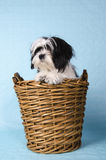Shih Tzu in a basket Stock Photo