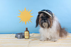 Shih Tzu in a Beach Scene Royalty Free Stock Photos