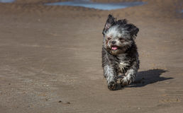 Shih Tzu on a beach stock images