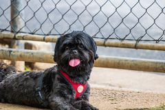 Shih tzu black resting quietly in front of a railing stock photos