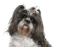 Shih Tzu with blue bows in hair, 4 years old. In front of white background royalty free stock photos