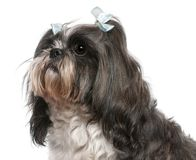 Shih Tzu with blue bows in hair, 4 years old. In front of white background stock photography