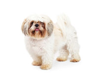 Shih Tzu Breed Adult Dog on White. Adult Shih Tzu breed dog standing on a white studio background royalty free stock image