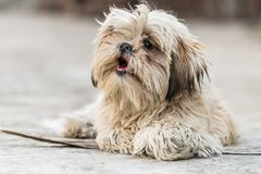 Shih Tzu breed of dog. Shih Tzu, also known as the Chrysanthemum Dog, is a toy dog breed sitting on floor stock photography