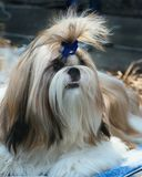 Purebred Shih Tzu in front preparing to perform at an exhibition of dogs royalty free stock photos