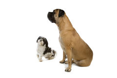 Shih-tzu and a bull mastiff dog Stock Photos