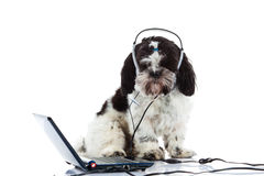 Shih tzu call center computer isolated on white background dog cocept. Shih tzu call center computer isolated on white background creative work stock photos