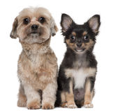 Shih Tzu and Chihuahua Stock Photo