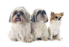 Shih Tzu and chihuahua Royalty Free Stock Image