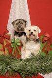 Shih Tzu Christmas Stock Photos