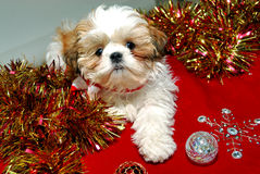 Shih Tzu Christmas Royalty Free Stock Photos