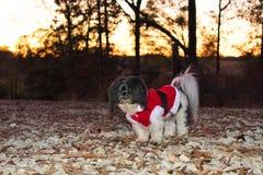 Shih Tzu Christmas Portrait stock images