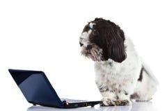 Shih tzu with computer isolated on white background dog. Shihtzu with computer isolated on white background dog royalty free stock image