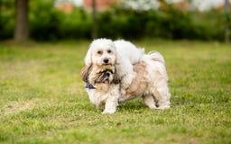 Shih tzu and Coton de Tulear best friends. Shih tzu and Coton de Tulear best dog friends royalty free stock image