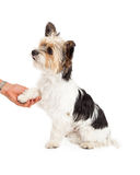 Shih Tzu Crossbreed Shaking Hands. A cute little Yorkshire Terrier and Shih Tzu mixed breed dog royalty free stock photos