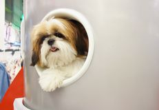 Shih Tzu. Cute shih tzu dog looking outside a circular opening window stock photography