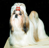 Shih Tzu cute. Stock Photos