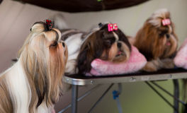 Shih Tzu. Cute small Shih Tzu dogs resting before dog show stock images