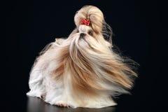 Shih tzu on a dark background Royalty Free Stock Photos
