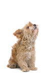 Shih Tzu dog. Closeup of cream colored Shih Tzu dog looking upwards, isolated on white background royalty free stock images