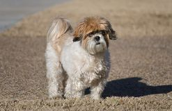 Shih-Tzu Dog. Portrait of cute Shih-Tzu dog with puppy-cut grooming Royalty Free Stock Photos