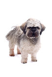 Shih tzu dog. Isolated on white background royalty free stock photography