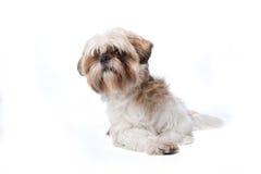 Shih tzu dog. Lying, isolated on a white background stock images