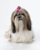 Shih Tzu dog. Pampered female Shih Tzu dog against white background royalty free stock photo