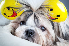 Shih tzu dog. With smiles ears stock photography