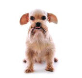 Shih Tzu dog. In studio on a white background royalty free stock image