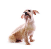 Shih Tzu dog. In studio on a white background royalty free stock photos