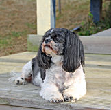 Shih tzu dog. Photo of a gorgeous black and white shih tzu dog breed posing on the beach hut decking royalty free stock photography